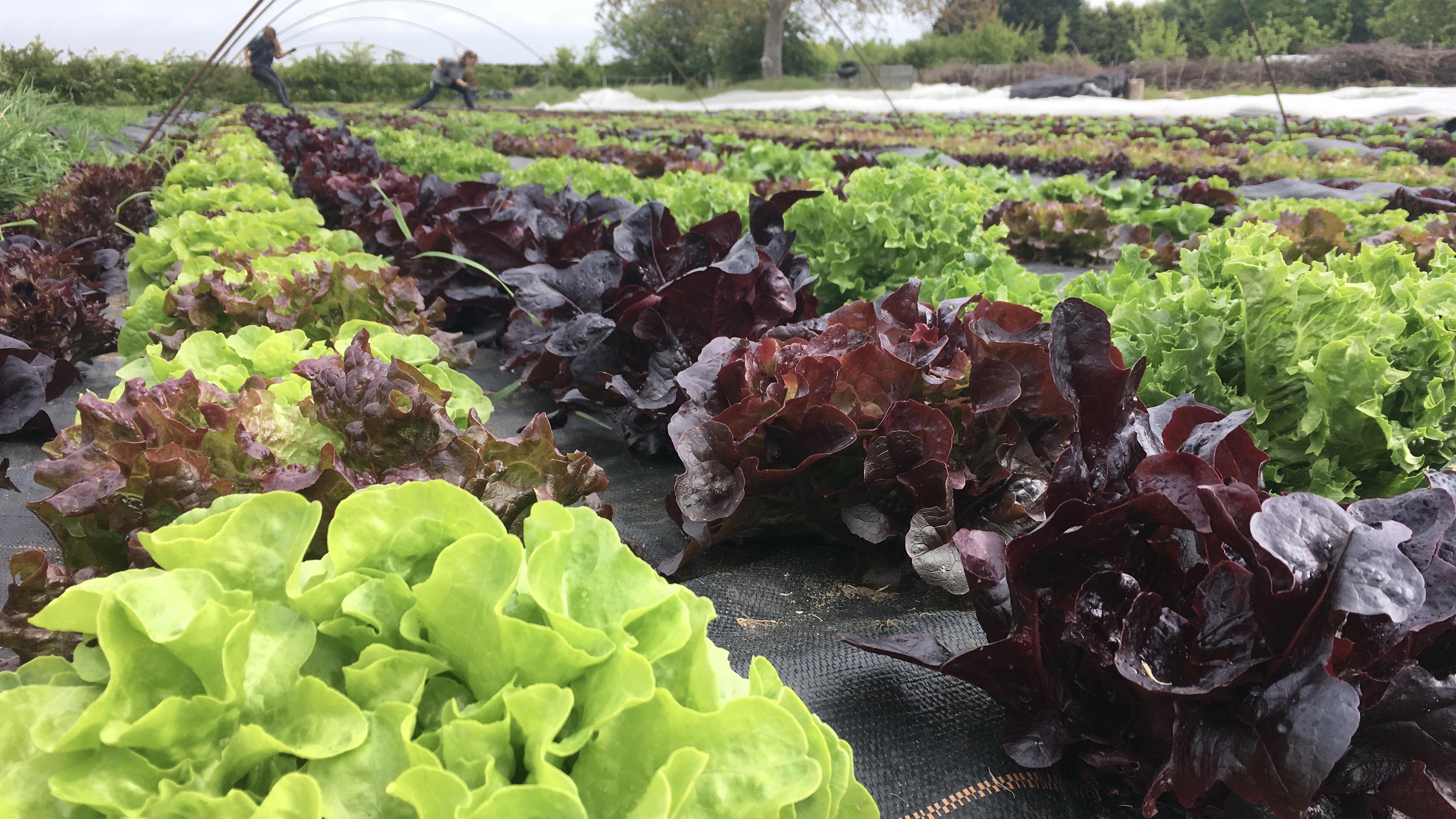 Lettuces 2019