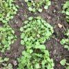 Winter purslane – miner's lettuce