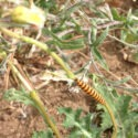 Cinnabar Caterpillars and Ragwort