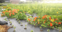 Nasturtium: a Bright and Peppery Friend